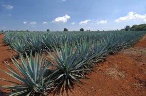 Tequila - A Bit of History