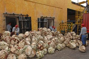 Raw agave hearts (piñas) being split in half, Tequila - A Bit of History