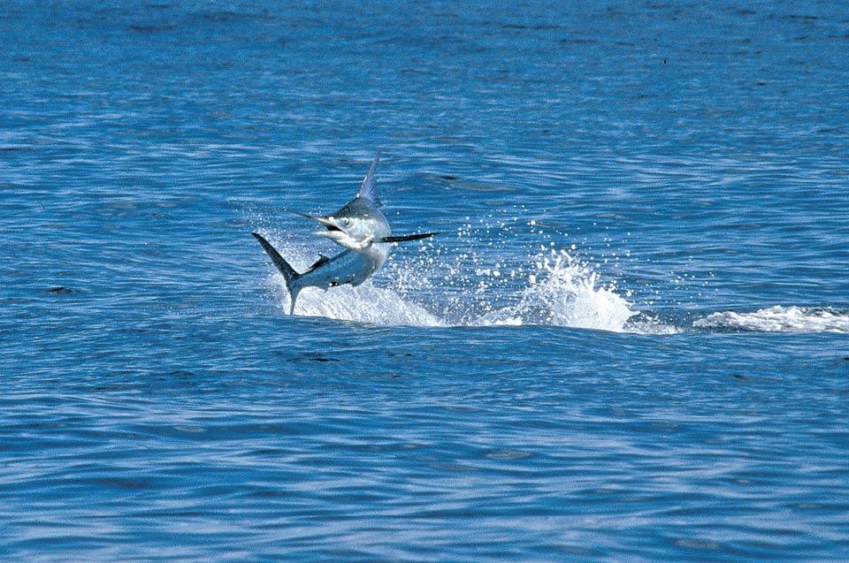 jumping-blue-marlin-cabo-087-r2