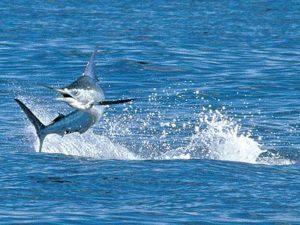 blue marlin jumping Cabo San Lucas