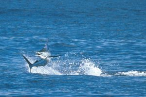 blue-marlin-jumping-cabo-087-1544-2