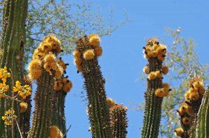 cactus-flowers-baja