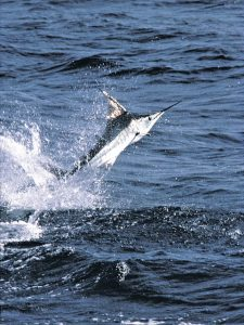 jumping_marlin-cabo-san-lucas-308_047_r2-tyson