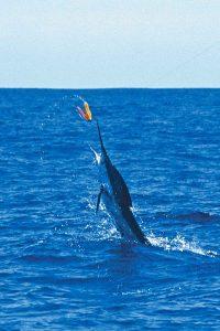 marlin-jumping-cabo-009-020044-r2
