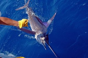 striped-marlin-cabo-reid-fly-hooker-3_r2