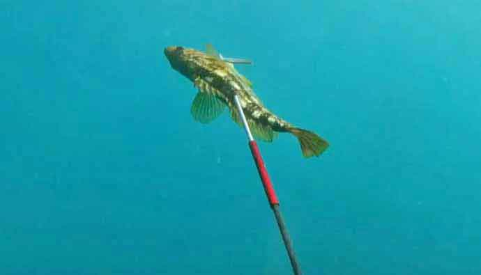 Gatku Pole-Spear Calico-Bass fishing.jpg