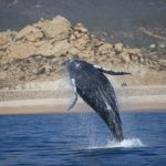 Whale Season in Cabo