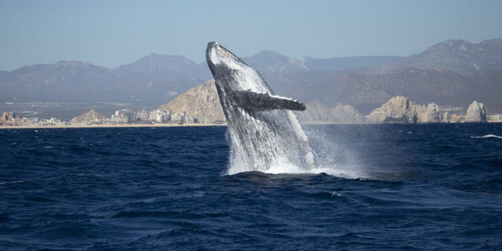 Whale Watching Season Los Cabos 2021