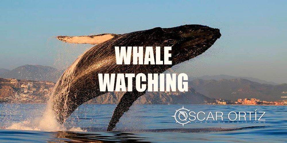 Whale Watching Cabo, Los Cabos 2019