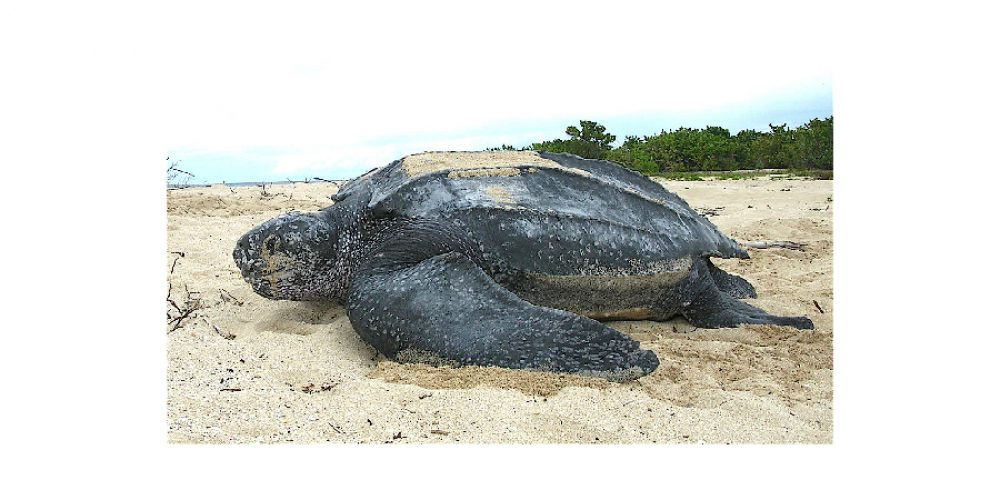 Leatherback turtle spawning in Los Cabos
